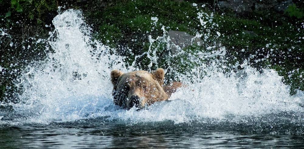Bear-Splashing1